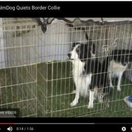 Win an iCalmDog… It Stopped Border Collie's Barking in 20 Seconds Flat!