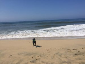 dog on beach with no separation anxiety